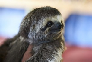 Sloth used for tourist selfies in the Amazon - Wildlife Selfie Code - World Animal Protection