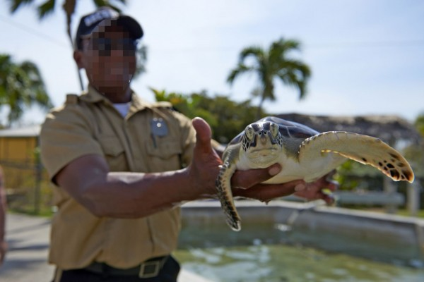 Man holding sea turtle at Cayman Turtle Centre in the Cayman Islands - Wildlife. Not entertainers - World Animal Protection