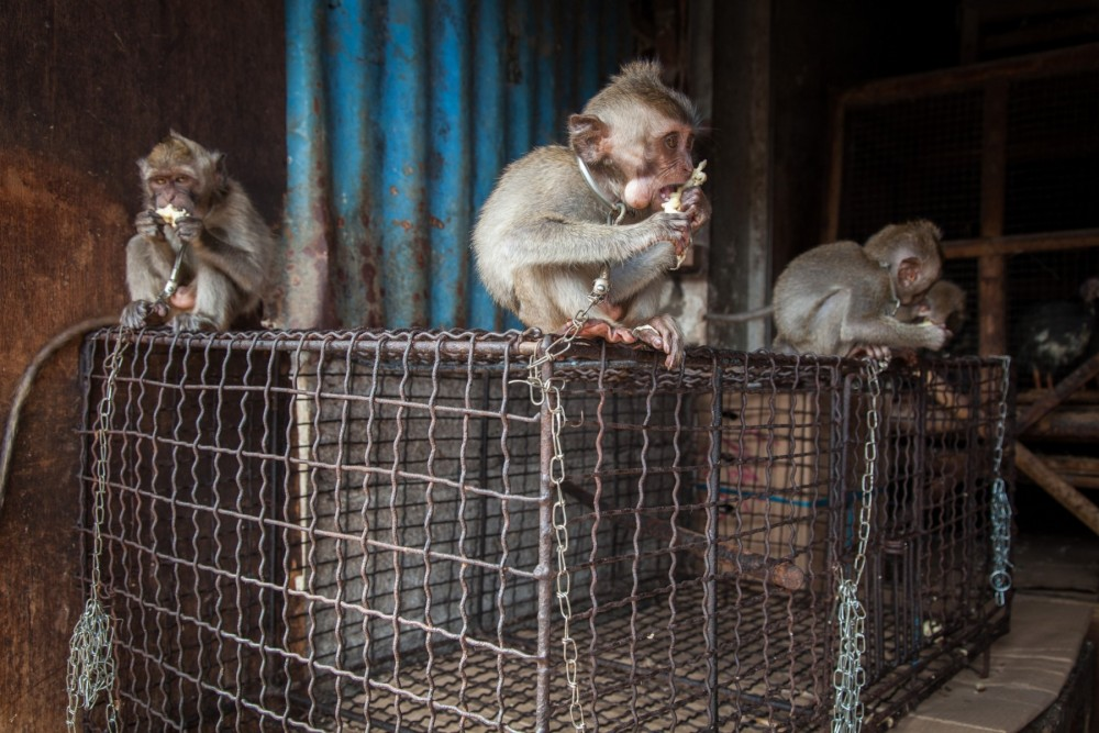 Chained monkeys for sale at market in Bali, Indonesia - World Animal Protection