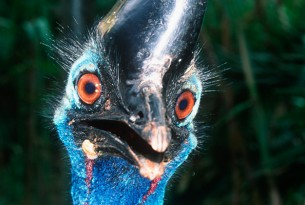 Pictured: Cassowary
