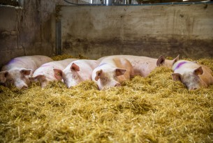 Five pigs lay in a bed of thick straw