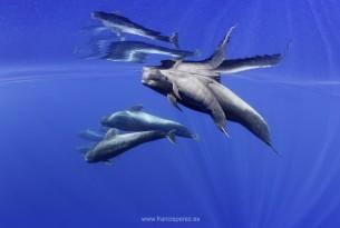 Dolphins underwater at Whale Heritage Site Tenerife La Gomera - Francis Pérez