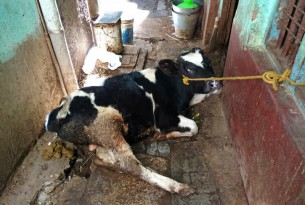 calf tethered with a rope