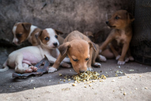 A litter of puppies in Freetown, Sierra Leone