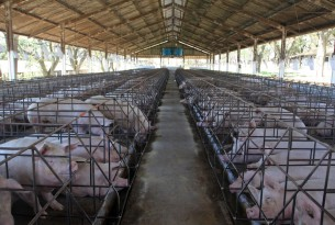 Factory-farmed mother pigs in cages