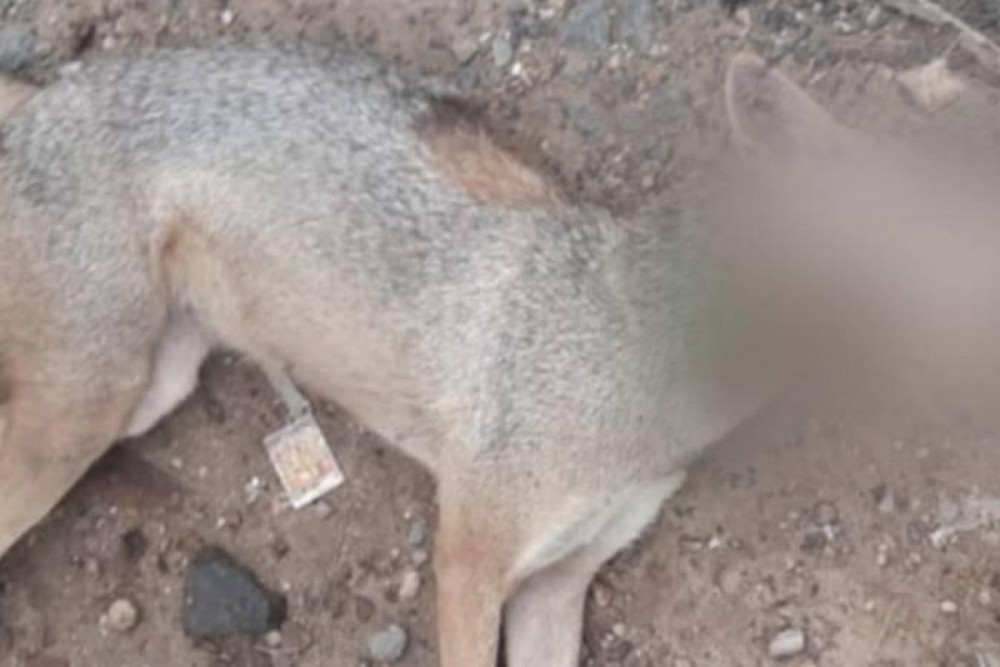 jackal died after consuming meat filled with crackers
