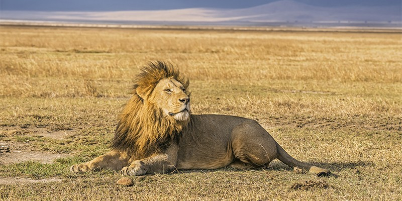 A wild lion resting in Ngorongoro Crater National Park, Tanzania. His eyes are closed and the wind is blowing through his mane.