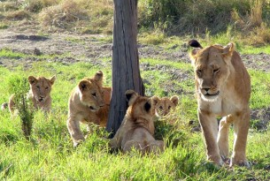A wild African lion and her cubs at the Mara Masaai Reservation, Kenya.