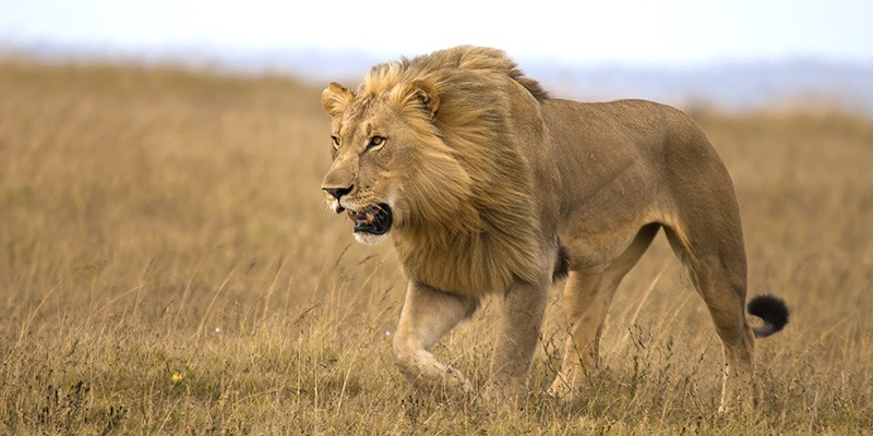 A wild lion stalking prey in a national park in Kenya.