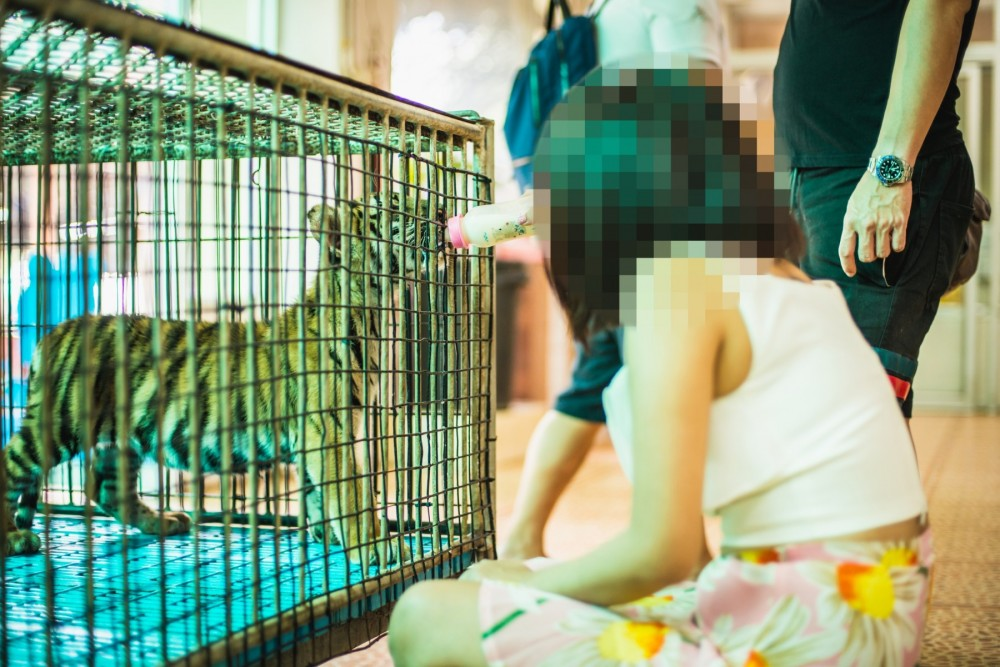 A tourist looking at a tiger cub in a cage