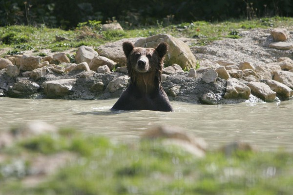 Bears at Zarnesti Sanctuary, Romania.