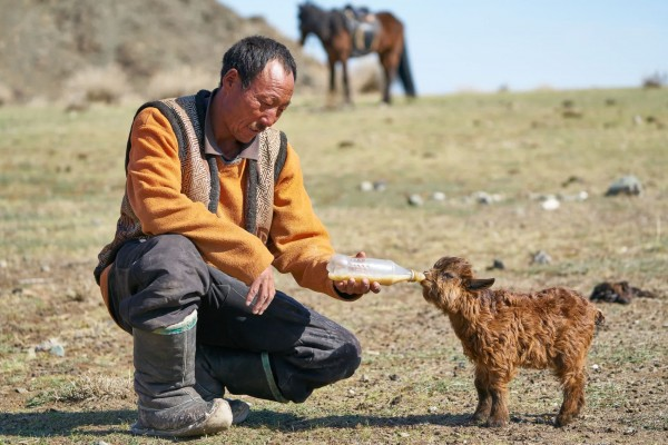 Mr Tsolmonpureu feeding one of his baby goats with a bottle
