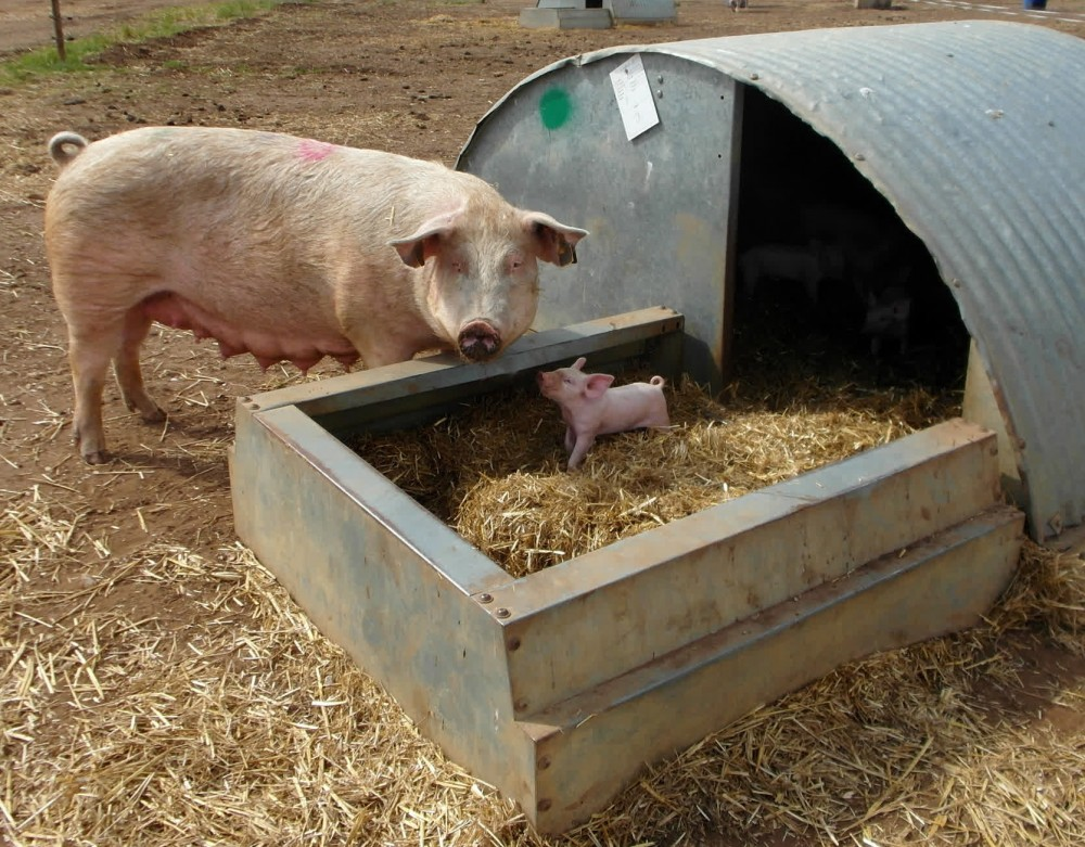 A sow and piglet on a high welfare farm