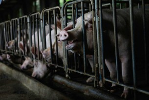 Pigs reared for meat kept in cramped cages