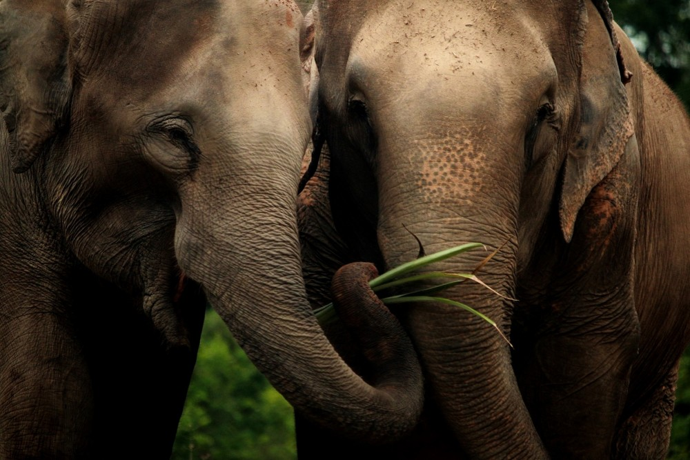 Elephants at Tree Tops in Thailand, image courtesy of Tree Tops