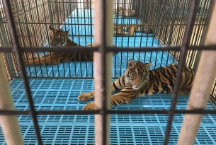 Shocking discovery of pet tiger in abandoned home