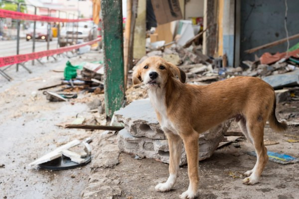 Dog in the ruins of his home after earthquake in Ecuador - World Animal Protection