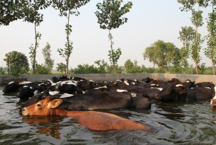 A wallowing pool helps cows to cool down during a hot summer