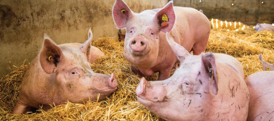 Pigs at a high welfare farm