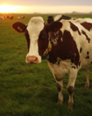 cow in farming