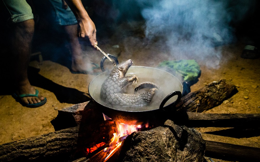 Pangolin boiled  alive