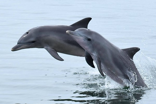 Dolphins in the wild in Australia - Mandurah Cruises - World Animal Protection