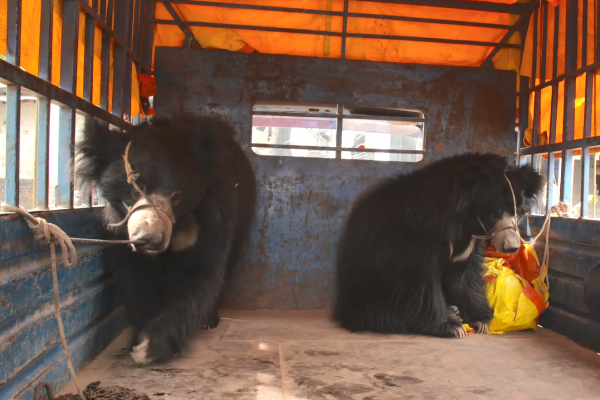 Rescued dancing bear tragically dies after she's secretly sent to substandard zoo