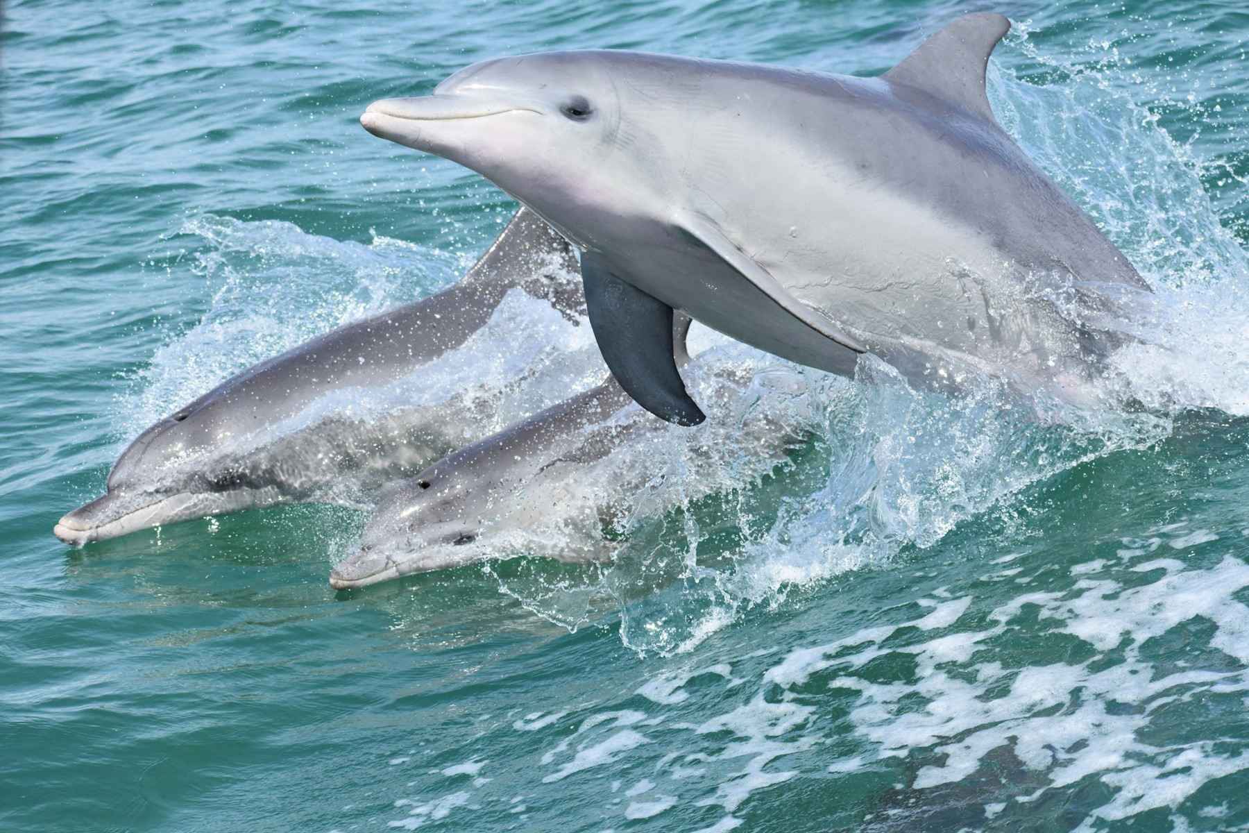 Pod of wild dolphins swimming in Mandurah, Western Australia.
