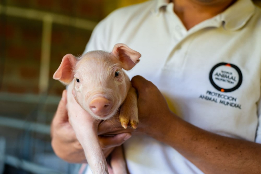 A piglet on a farm in Latin America