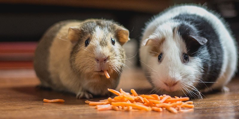 Two guinea pigs sharing a meal of delicious carrot shreds