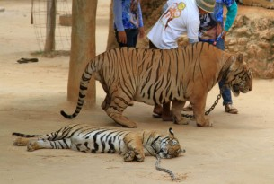 Presented to authorities: Petition to protect tigers, with more than 212,000 signatures