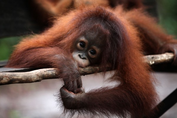 Young orangutan at Nyaru Menteng sanctuary