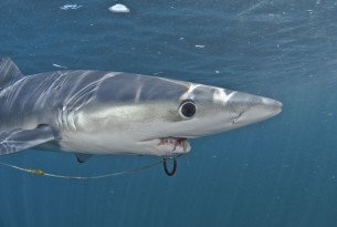 Shark hooked with ghost gear - Sea Change - World Animal Protection