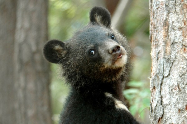 Moonbears like this cub, pictured at the Endangered Species Preservation Centre in South Korea, are commonly used in Asia for their bile.