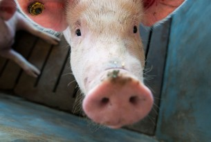 Pig at Miunça Farm in Brazil - Animals in farming - World Animal Protection