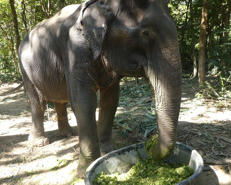 Sow the elephant enjoying a smoothie meal. She is reaching with her trunk into a big bowl full of shredded green food.