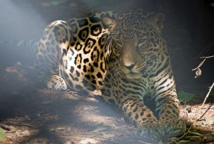 Jaguar in a sanctuary in Costa Rica