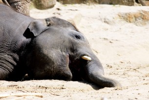 The death of a pregnant elephant who was fed a firecracker laden pineapple has sparked nationwide outrage