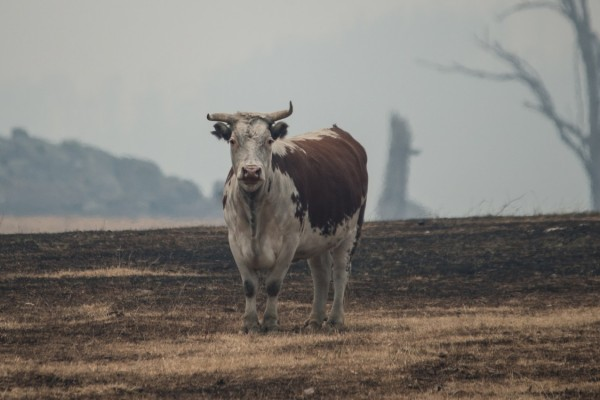 Cow stands in a field in Australia surrounded by a smoky sky - credit, Jo-Anne McArthur / We Animals Media - World Animal Protection