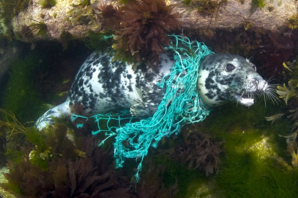 Seal entangled in ghost gear - Sea Change - World Animal Protection