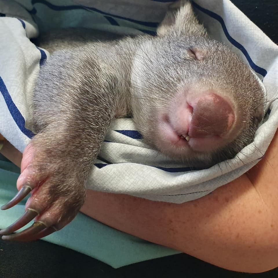 Kal the wombat