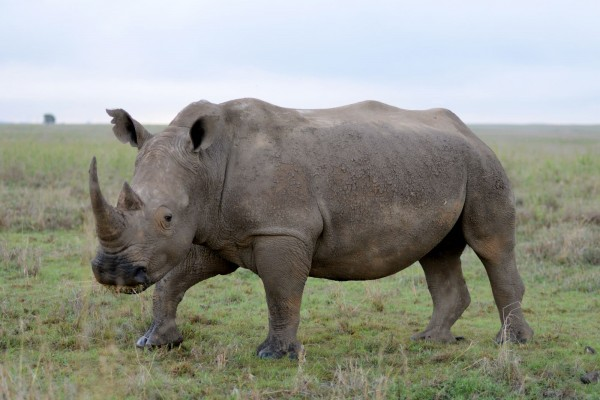 saving rhinoceros