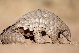 A wild pangolin in the dust