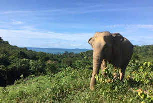 An elephant at Following Giants in Thailand