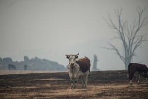 cows looking for pastures to graze during the Australia bushfires