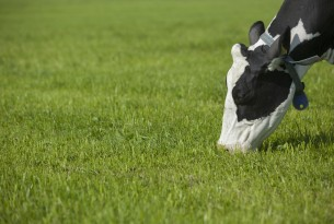 Close up of a cow grazing