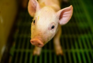 Piglet on a factory farm