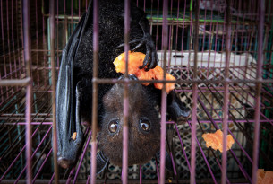 A captive bat eating fruit, at a market in Jakarta, Indonesia