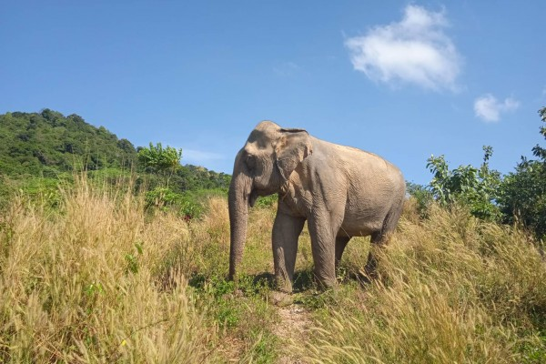 Elephant walking at the Following Giants sanctuary in Koh Lanta, Thailand