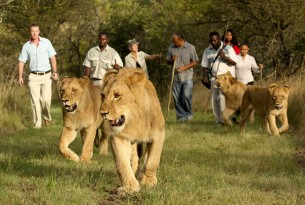 Tourists walking with lions in South Africa - World Animal Protection - Wildlife. Not entertainers